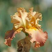 Orange bearded iris — Stockfoto