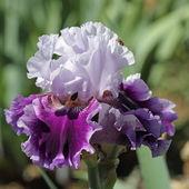 Tmavě a světle fialovými vousatý iris — Stock fotografie