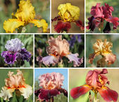 Collection of colorful bearded iris flowers — Stock Photo