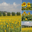 Collage with flowering sunflowers filed — Stock Photo