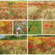 Collage with flowering poppies in countrysiede — Stock Photo