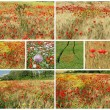 Stock Photo: Collage with flowering poppies in countrysiede