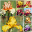 Collage with bearded iris flowers — Stock Photo