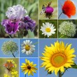 Stock Photo: Collage with rural flowers