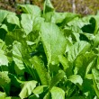 Mustard Greens in the Winter Garden — Stock Photo