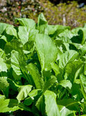 Mustard Greens in the Winter Garden — Stock Photo