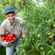 Happy Man Picking Tomatoes in His Vegetable Garden — Stock Photo #8606247