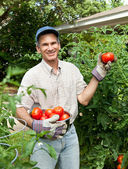 Giardiniere felice holding pomodori maturi nel suo giardino — Foto Stock