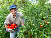 Happy Man Picking Tomatoes in His Vegetable Garden — Stockfoto