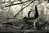 Bull skull — Stock Photo