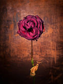 Grunge dead rose — Stock Photo