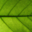 Stock Photo: Backlit leaf