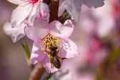 Aç arı — Stok fotoğraf