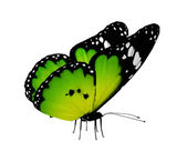 Green butterfly, isolated on white — Stock Photo