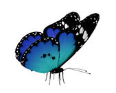 Blue butterfly, isolated on white — Stock Photo