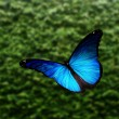 "Blue ""morpho"" butterfly flying — Stock Photo #9194291"