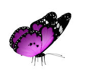Violet butterfly, isolated on white — Stock Photo