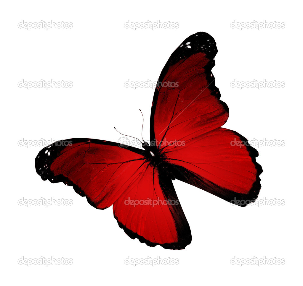 Morpho red flying, isolated on white background  Stock Photo #9812264