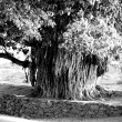 Stock Photo: Old indian tree