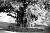 Old indian tree — Stock Photo