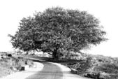 Old tree and a road — Stockfoto