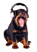 Headphones puppy — Stock Photo