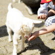 Child feeding lamb — Stock Photo #10543929