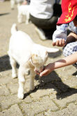 Child feeding a lamb — Stock Photo