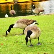 2 Geese — Stock Photo