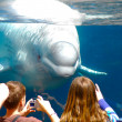 Belugwhale at Mystic Aquarium. — Stock Photo #10198391