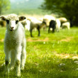 Lamb in the grass — Stock Photo