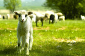 The Lamb — Stockfoto