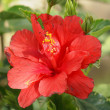 Stock Photo: Red Flower