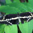 Black Butterfly - Stock Photo