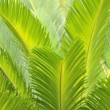 Leaves of cycas tree in garden - Stock Photo