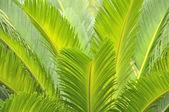 Listí v zahradě strom cycas — Stock fotografie