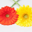 Stock Photo: Couple of red and yellow gerberflowers on white