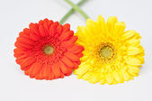 Couple of red and yellow gerbera flowers on white — Stok fotoğraf