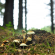 Stock Photo: Group of mushrooms growing wild in forest