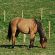Stok fotoğraf: Beautiful horse grazing in field