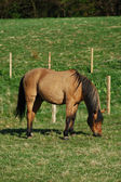 Beautiful horse grazing in a field — Stok fotoğraf