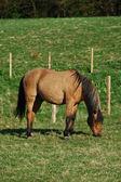 Beautiful horse grazing in a field — Stock Photo