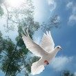 White dove flying — Foto Stock