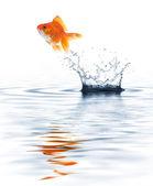 Goldfish jumping — Photo