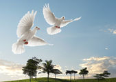 Two doves flying — Stock Photo