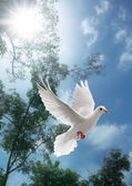 White dove flying — Stock Photo