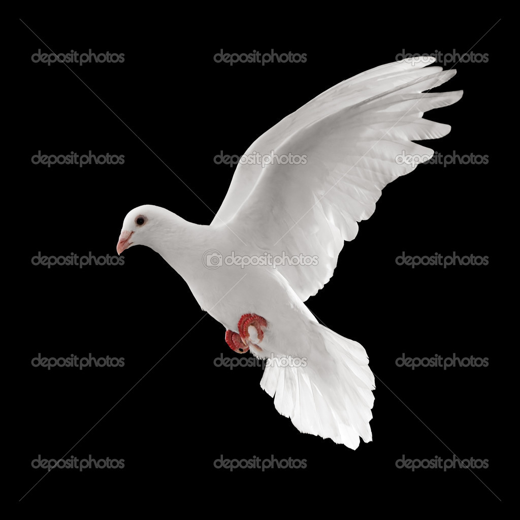 Flying white dove isolated on black background  Stock Photo #9025255