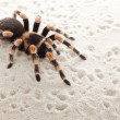 Red knee tarantula — Stock Photo #9121287