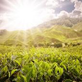 Panoramica della fattoria di tè — Foto Stock