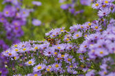 Aster flowers with butterfly — Stock Photo